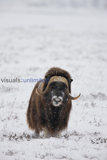 Muskox bull stays warm on the open tundra during a snowstorm due to its extremely warm underhair known as Qiviut