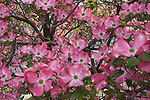 Pink Dogwood trees blooming in Spokane Washington in May.