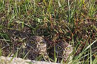 Burrowing owls staring