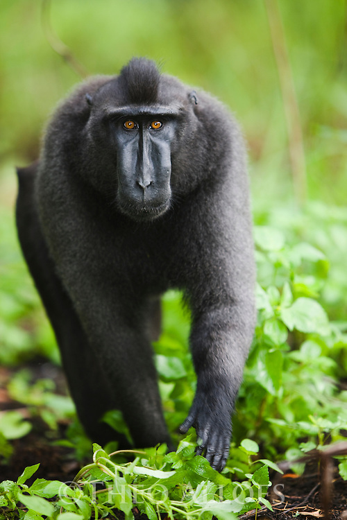 Dominant male crested black macaque walking in burn-slashed area near village, (Macaca nigra), Indonesia, Sulawesi, endangered species, threatened through loss of habitat and bush meat trade, species only occurs on Sulawesi.