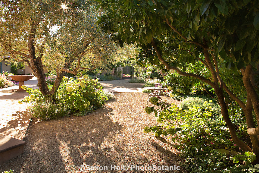 Gravel patio under olive trees with hydrangeas in sunny california wine country garden