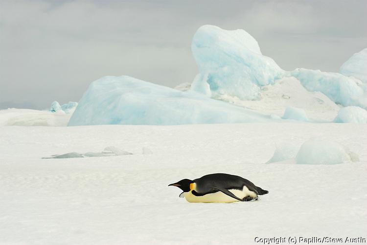 Emperor penguin, Aptenodytes forsteri, adult tobogganing on fast ice, Snow Hill Island, Erebus and Terror Gulf, Antarctic Peninsula, Antarctica