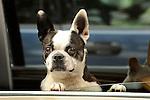 Boston Terrier in car window.