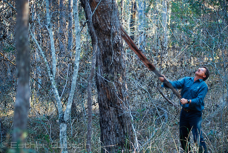 State Forests researcher scraping trunk of tree to mimic goanna climbing, to get owl to look out of its roost hollow. Whiporee State Forest, NSW