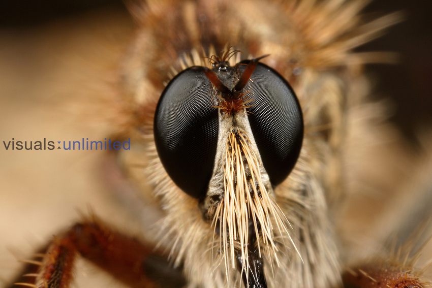 Robber Fly, Family Asilidae, close-up of face showing compound eyes.