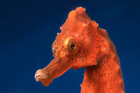 lined seahorse, Hippocampus erectus, also known as northern seahorse or spotted seahorse, raised in captivity at Ocean Rider for the aquarium trade to offset devastating wild caught seahorse trade, captive