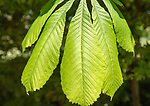 Close up of leaves of sweet chestnut tree, Castanea sativa, Suffolk, England, UK
