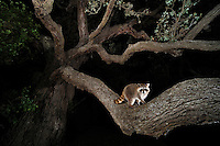 Northern Raccoon (Procyon lotor), young at night climbing Live Oak tree (Quercus virginiana), Dinero, Lake Corpus Christi, South Texas, USA