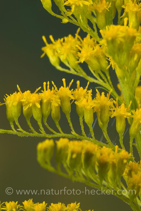 Kanadische Goldrute, Einzelblüten, Solidago canadensis, Canada Goldenrod