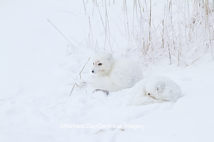 01863-01318 Two Arctic Foxes (Alopex lagopus) in snow Chuchill Wildlife Mangaement Area, Churchill, MB Canada