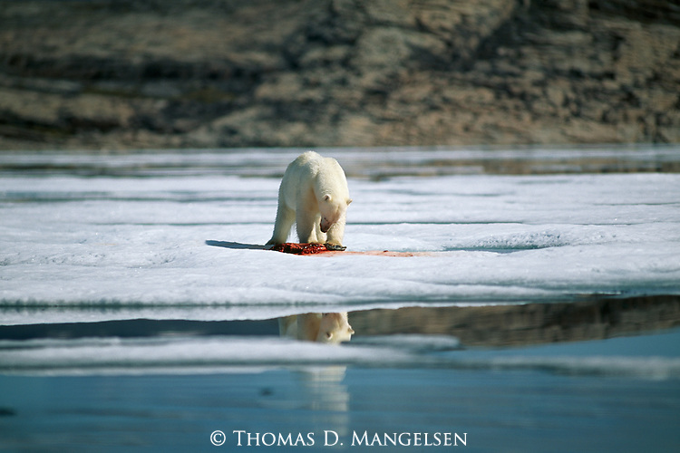 A polar bear eats a carcass on the ice.