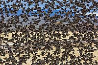 Brewer's Blackbirds in flight