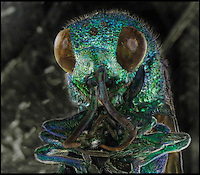 BNPS.co.uk (01202) 558833<br /> Picture: RPS/Daniel Kariko<br /> <br /> **please use full byline/single use only**<br /> <br /> Extreme close-up view of the head of a cuckoo wasp by Daniel Kariko. Common names also include jewel wasp, gold wasp or emerald wasp, reflecting their brilliantly coloured, metal-like bodies.<br /> <br /> Stunning photographs from the prestigious Royal Photographic Society's latest exhibition prove that science and beauty can co-exist. There 100 sensational images come from various disciplines of science and highlight how important photography is for academics. Photography plays a crucial role in medicine, forensic science, engineering, archaeology, oceanography, natural history and many more areas. The International Images for Science exhibition launches at the Great North Museum in Hancock, Newcastle, tomorrow (Sat), and showcases works from 54 scientists from around the world.