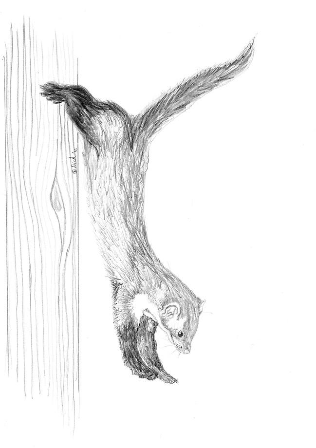 Steenmarter (Martes foina) springend