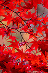 Japanese maple, Washington Arboretum, Seattle, Washington