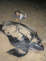 leatherback turtle, Dermochelys coriacea, makes its way to the sea, with girl watching