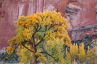 Fall colors have arrive at Capital Reef National Park, Utah