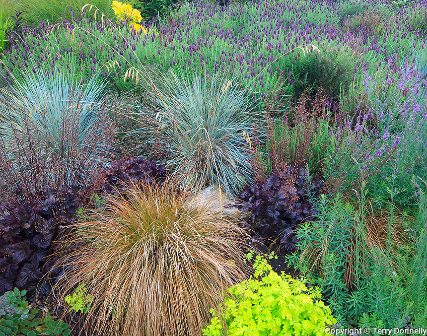 Vashon-Maury Island, WA<br /> Driscoll garden, hillside garden bed with mounded patterns of Spanish lavender, ornamental grasses and heuchera