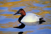 Canvasback drake with autumn colors reflecting in lake. Coastal British Columbia, Canada. (Aythya valisineria).