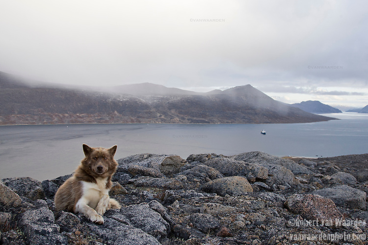 A Canadian sled dog rests on a rock near Qikiqtarjuaq in the Canadian North. In the distance is a ship that carried a group of international students on an expedition into the Arctic to teach them about Climate Change and raise awareness about the issue. Baffin Island, Nunavut, Canada.