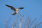 Rose Canyon, San Diego, California; a fledgling white-tailed kite comes in for a landing in a leafless tree soon after leaving the nest, spreading its wings for balance