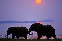 African Elephants (Loxodonta africana) feeding in Lake Kariba, Matusadona National Park, Zimbabwe.  Sunset.