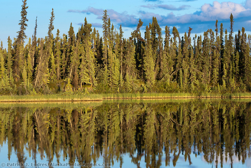 Spruce trees along tundra pond, interior Alaska