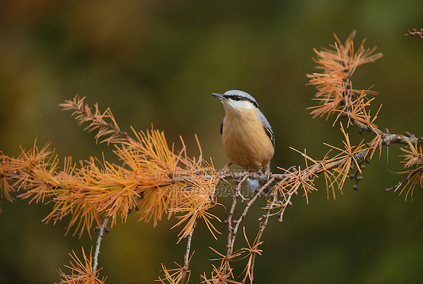 Eurasian Nuthatch (Sitta europaea), adult perched on autumn branch of European Larch (Larix decidua), Oberaegeri, Switzerland, Europe