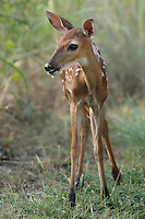 "Baby whitetail fawn with muddy ""socks""."