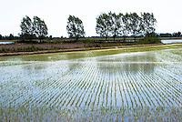 Risaie nell'Abbiatense presso Gaggiano nel Parco agricolo Sud Milano --- Rice fields near Gaggiano in the Rural Park South Milan