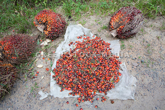 Loose palm fruits are collected on a canvas sheet surrounded by intact oil palm fresh fruit bunches (FFBs) which have been recently harvested. The Sindora Palm Oil Plantation, owned by Kulim, is green certified by the Roundtable on Sustainable Palm Oil (RSPO) for its environmental, economic, and socially sustainable practices. Johor Bahru, Malaysia