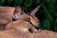 612754012 a wildlife rescue caracal felis caracal rests with its head laying on its compound mate  species is native to the tall grass plains of east africa