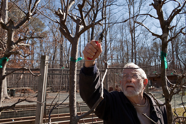 February 12, 2011. Pittsboro, NC.. Mr. Calhoun spends several hours a week pruning his orchards to rid the trees of unnecessary branches and sprouts. He leaves on long branch on each variety to use as grafts, or scions, for new trees..Lee Calhoun, 77, has spent over 30 years collecting old southern apple varieties and planting them in his orchard in hopes of sustaining the breeds.