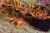 RS0170-D. Southern Rock Lobster (Jasus edwardsii) packed in a split along a reef wall. This species also called red rock lobster, or spiny rock lobster, or just cray. Tasmania, Australia, Pacific Ocean.<br /> Photo Copyright &copy; Brandon Cole. All rights reserved worldwide.  www.brandoncole.com