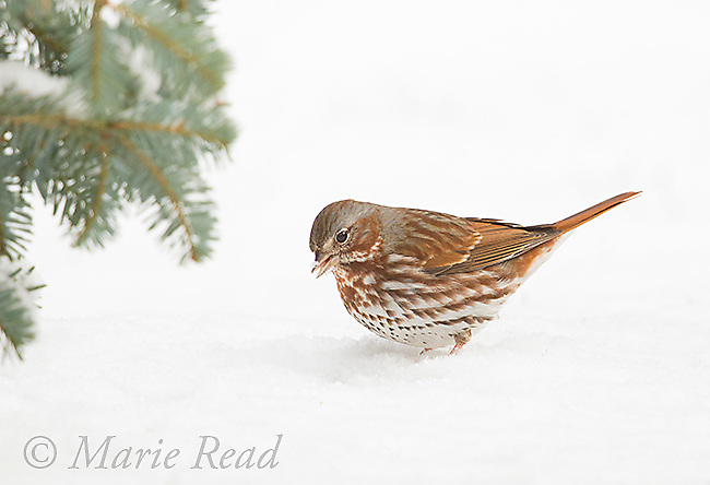 Fox Sparrow (Passerella iliaca) adult on snow-covered ground, late winter, New York USA