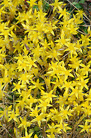 BITING STONECROP Sedum acre (Crassulaceae) Height to 10cm. Distinctive mat-forming perennial. Found on well-drained ground such as sand dunes and old walls. FLOWERS are star-shaped and 10-12mm across, with 5 bright yellow petals (May-Jul). FRUITS are dry and splitting. LEAVES are fleshy, crowded and pressed close to stem; taste hot. STATUS-Widespread and locally common.