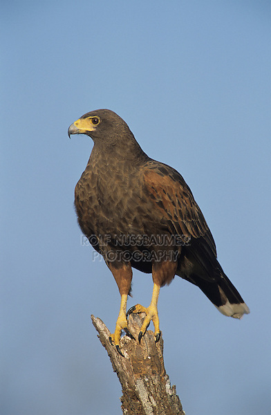 Harris's Hawk, Parabuteo unicinctus, adult, Willacy County, Rio Grande Valley, Texas, USA