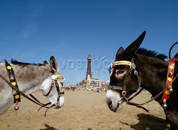 Donkeys on the beach with Blackpool Tower in the background