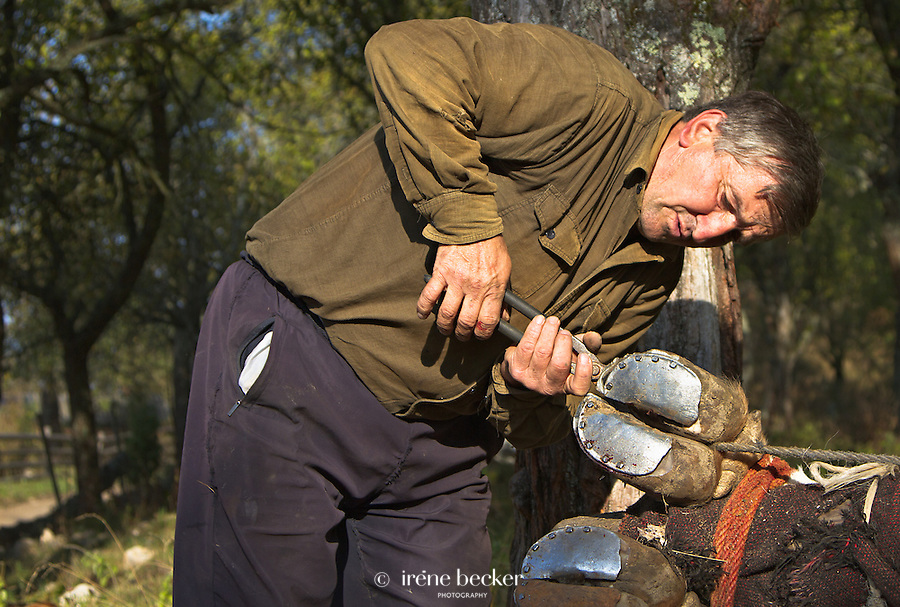 In Serbia, shoeing was accomplished by throwing the ox to the ground and lashing all four feet to a heavy wood until the shoeing was complete.