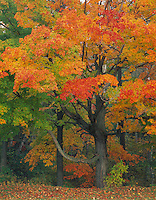 Point Beach State Forest, WI  <br /> Hardwood forest with Sugar Maples (Acer succharum) in fall color