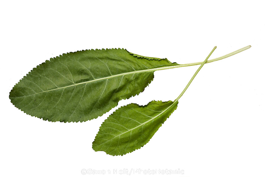 Costmary, Tanacetum balsamita (aka Alecost, Balsam herb, Bible leaf, or Mint geranium) herb leaf silhouette
