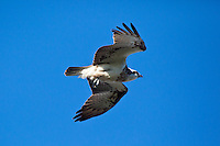 Osprey, Woody Head, BundjalungNP, NSW, Australia
