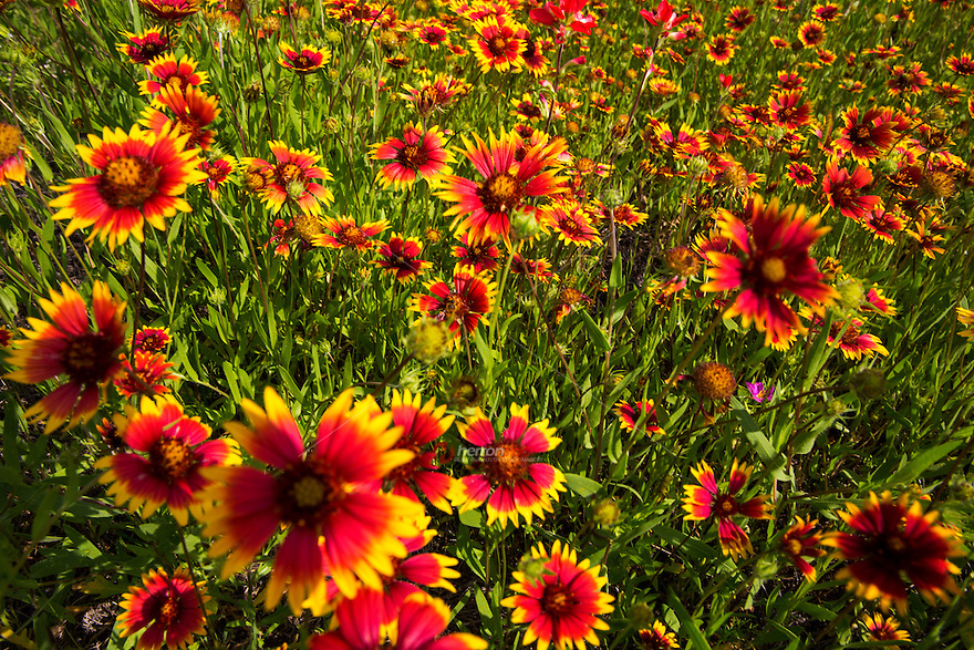 Close up, full-frame photo of vibrant yellow and red Indian Blanket Firewheels (Gaillardia), image taken at Lake Buchanan, in the Texas Hill Country - Stock Image.