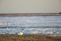 Tundra swan at the edge of an ice covered pond on Alaska' s arctic north slope.