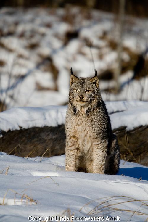 Canada lynx (Lynx canadensis) sitting in the snow