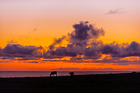 Cattle grazing, Point Arena, Mendocino County, California USA