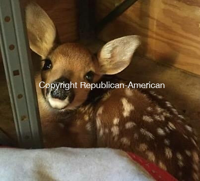 SOUTHBURY, CT: 30 Nov. 2015: 30112015CB01: SOUTHBURY -- Two orphaned fawns, one of them pictured here, were rescued and housed for three days earlier this summer by state trooper Ben Pagoni. The deer are now with a wildlife rehabilitator in Guilford. Contributed