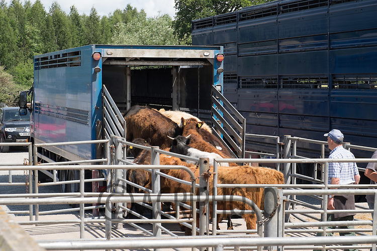 Store cattle being loaded onto a lorry  in Worcester market<br /> Picture Tim Scrivener 07850 303986<br /> &hellip;.Covering agriculture in the UK&hellip;.