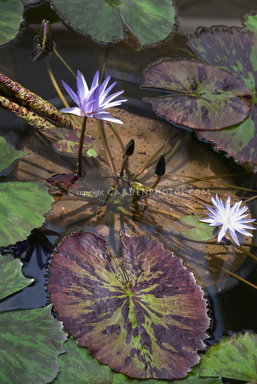 Tropical Water Lily Nymphaea 'Foxfire'  in blue  flowers in underwater container pot