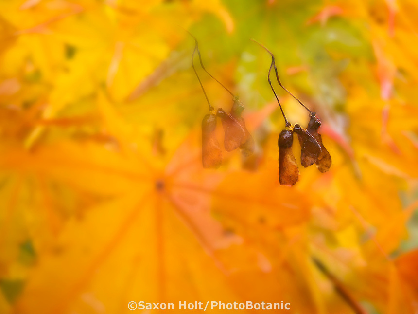 Winged seed pods of Japanese maple in fall (autumn) color